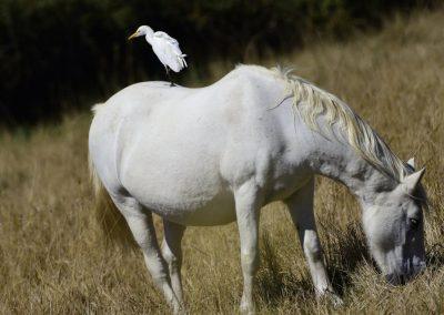 Anne Thebault - héron sur un cheval blanc