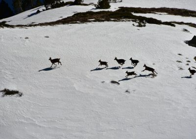 Anne Thebault - Isards dans la neige