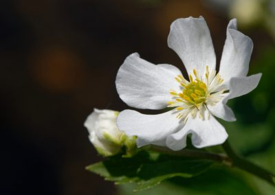 Anne Thebault - fleur