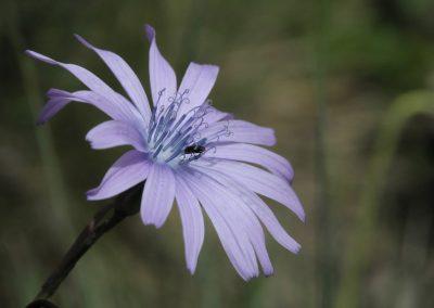 Anne Thebault - fleur et insecte