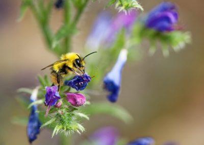 Anne Thebault - abeille