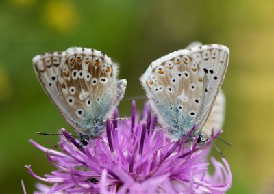 Anne Thebault - papillons