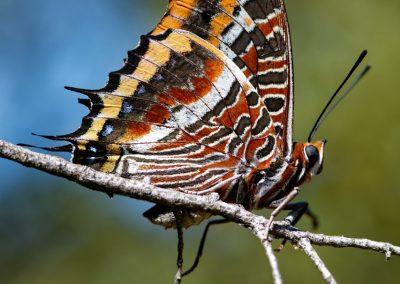 Anne Thebault - papillon