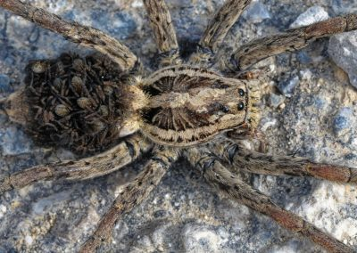 Anne Thebault - araignée