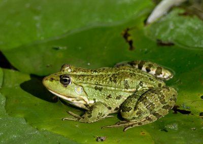 Anne Thebault - grenouille